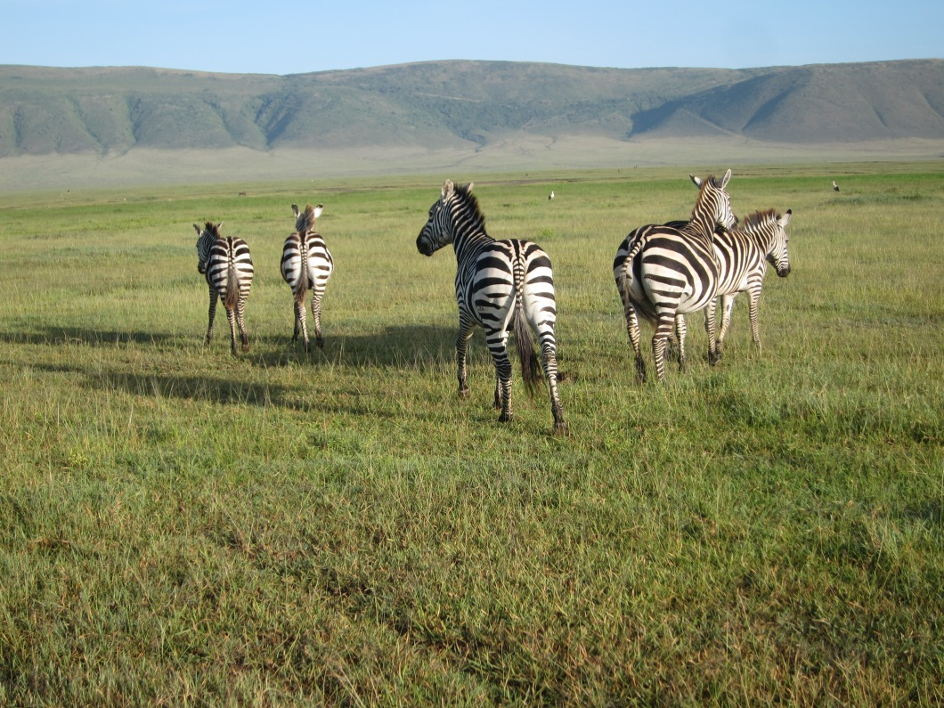 Zebras inside the Ngorongoro Crater.